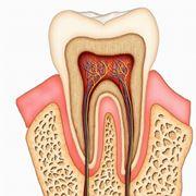 Anatomia di un dente.
