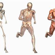 Le ossa e i muscoli nel corpo umano.