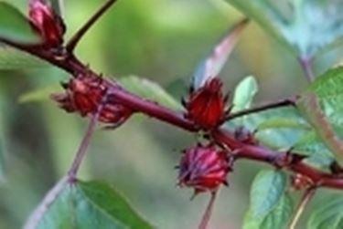 pianta aromatica - acetosa