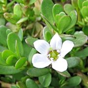 bacopa integratore