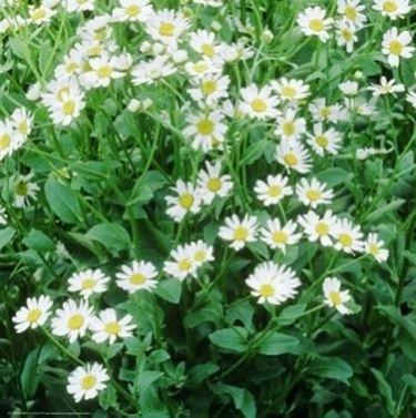 Pianta fiorita di Balsamita
