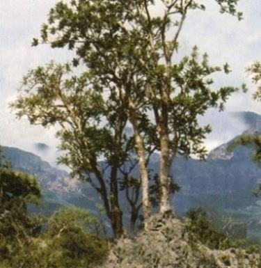 Albero si Boswellia serrata