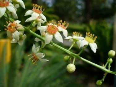 Dettaglio dei fiori di Boswellia