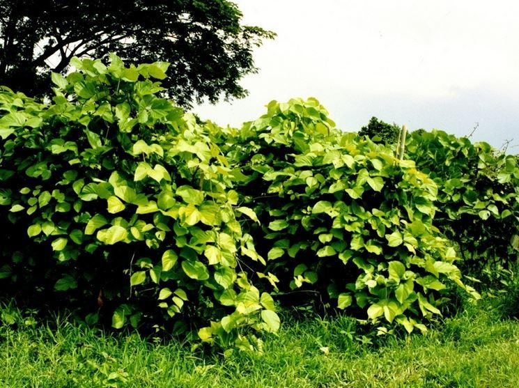 piante <em>butea</em> superba