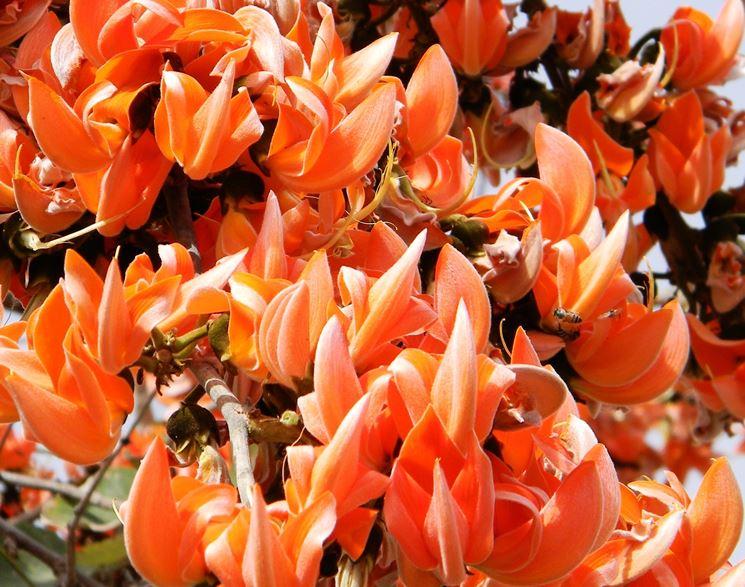 fiori butea superba