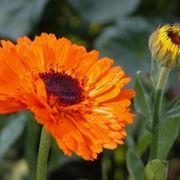 Fiore di colore arancio della calendula