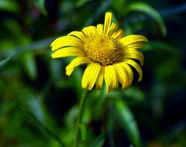 Dettaglio di un fiore giallo