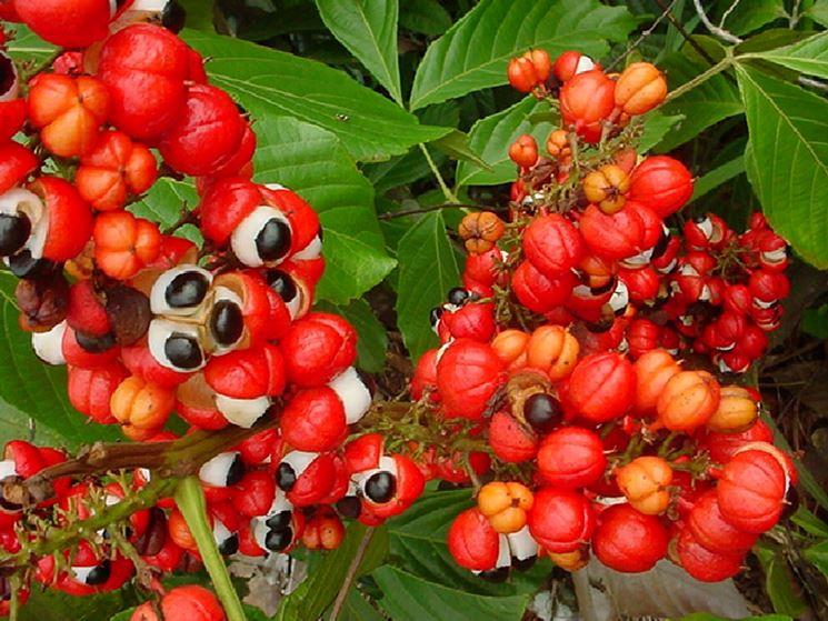 coltivazione guaranà