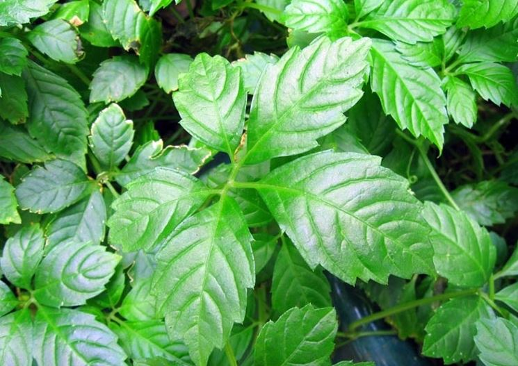foglie ginseng del sud