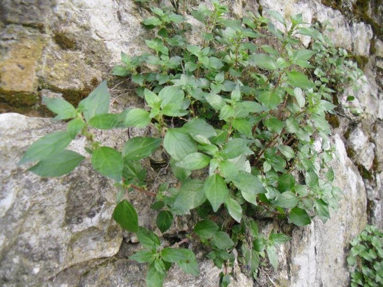 Parietaria parietaria officinalis piante aromatiche - Piante per coprire muri ...