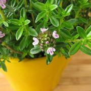 santoreggia pianta