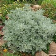 Pianta dell'Artemisia