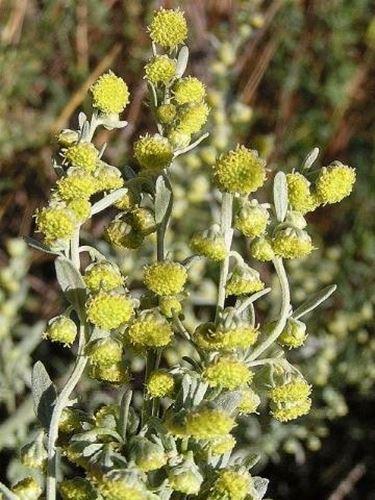 Fiori di Artemisia