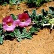Pianta con fiore di arpagofito