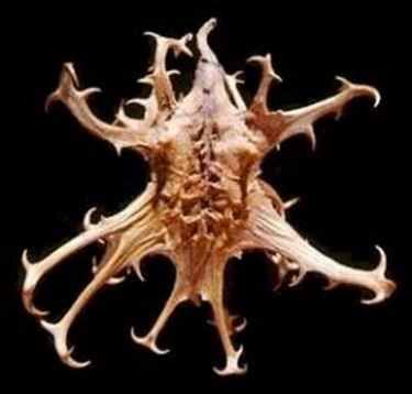 Radice dell'arpagofito da cui prende il nome artiglio del diavolo