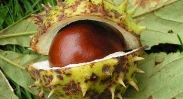pianta medicinale ippocastano