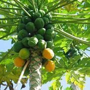 papaya pianta