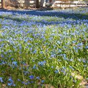 scilla fiore